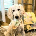 Sammy Therapy Dog