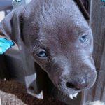 Nala Therapy Dog